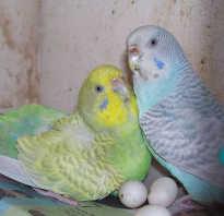 Как плодятся волнистые попугаи