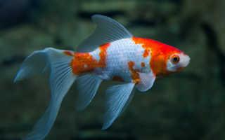 Золотая рыба комета: содержание в аквариуме и как отличить самца от самки