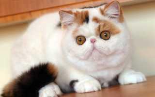 Котики экзоты фото