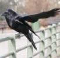 Разница между грачем и вороном