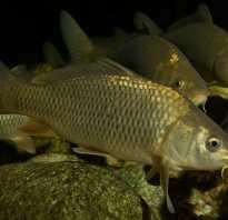 Рыба речной карп: виды, польза и вред речного мяса, особенности нереста, размножения и ловли