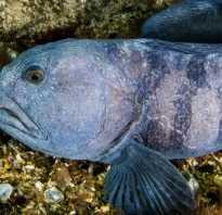 Рыба зубатка фото