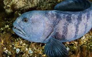 Рыба зубатка фотографии