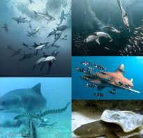 Едят ли акулы друг друга
