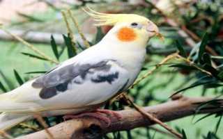 Имя для попугая мальчика волнистого голубого