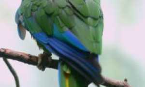 Попугай кубинский белоголовый амазон — уход и содержание