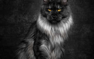 Породы кошек мейн кун с фотографиями