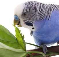 Что можно волнистому попугаю кушать
