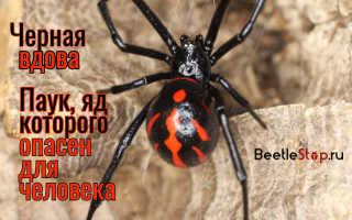 Черный паук с оранжевыми пятнами
