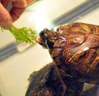 Можно ли красноухой черепахе давать