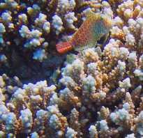 Рыба морская собачка