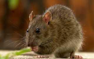 Крыса описание животного