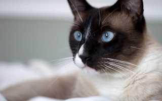 Сноу шу: описание породы кошек и ее окрасов, содержание и уход, разведение котят