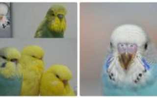 Как отличить самку попугая