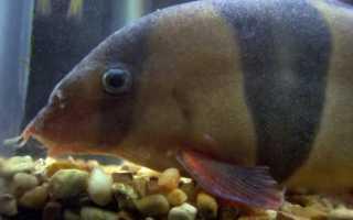Оодиниумоз (оодиноз) болезнь рыб похожая на ихтиофтириоз манку лечение!