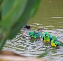 Попугаи любят купаться