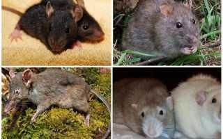 Виды крыс фото