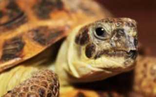 Стоит ли заводить черепаху