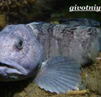 Зубатка рыба картинки