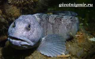 Рыба пятнистая зубатка