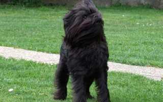 Черно бело коричневая собака порода
