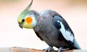 Попугай корелла (нимфа): как выглядит, виды, цвет, размер, описание