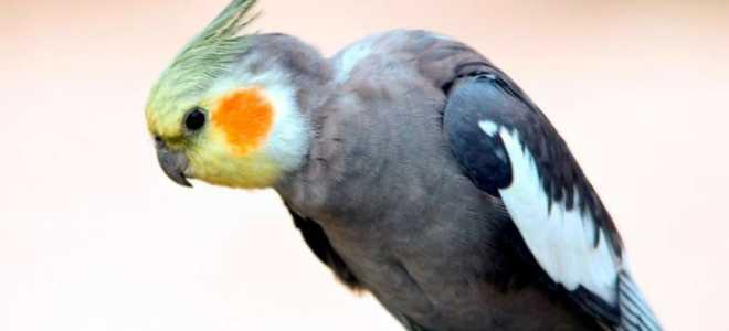 Попугай корелла уход и содержание в домашних условиях