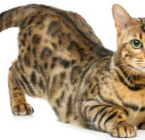 Кошка как леопард порода фото