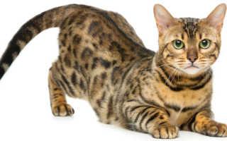 Котята с окрасом леопарда