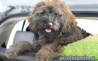 Пули собака: описание породы и стоимость щенка