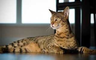 10 самых дорогих пород кошек в мире: описание пород и цена