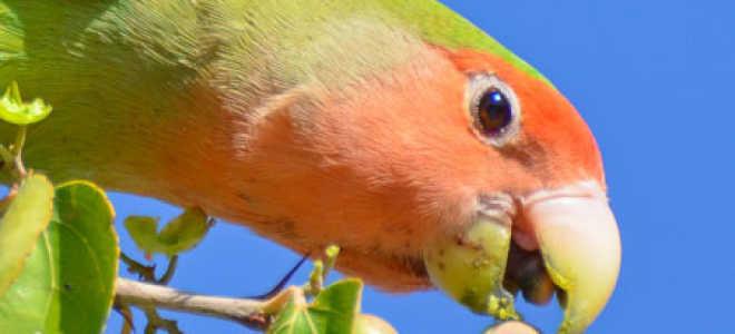 Чем кормить попугаев неразлучников в домашних условиях