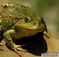 Среда обитания жабы