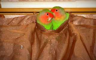 Попугаи неразлучники: уход, содержание в домашних условиях, сколько живут без пары