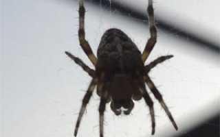 Покровы тела паука крестовика
