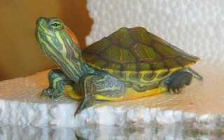 Сколько лет живут домашние черепахи сухопутные