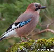 Лесные птицы сойка