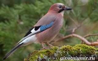 Сойка птица перелетная или зимующая