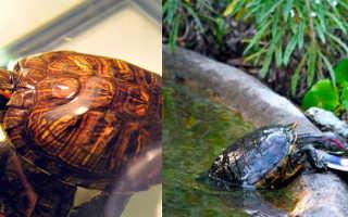 Чем питаются красноухие черепахи в домашних