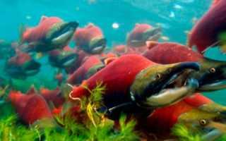 Нерка рыба картинка