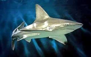 Акулы в природе