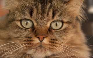 5 антибиотиков для кошек широкого спектра: применение в ветеринарии при инфекции