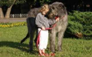 Описание породы собак Ирландский волкодав с отзывами владельцев, фото и видео
