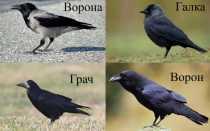 Грач и ворон отличия