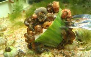 Морские улитки в аквариуме