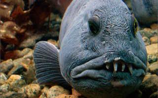 Зубатка фото рыбы с головой