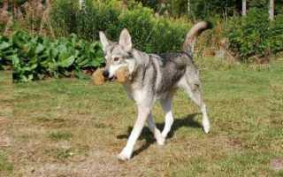 Гибрид собаки и волка: волкособ, волчья собака сарлоса и чехословацкая волчья собака