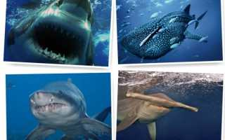 Акулы хищники морей
