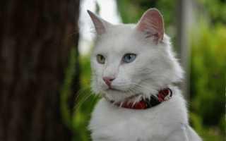 Коты с разноцветными глазами
