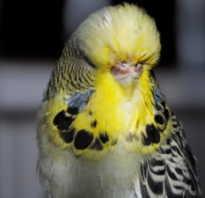 Волнистый попугай болезни симптомы